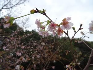 JFEプラリソース(株) 「秋の桜」の写真